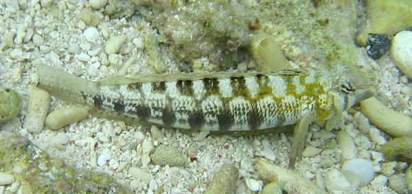 Southern Grubfish, Parapercis australis