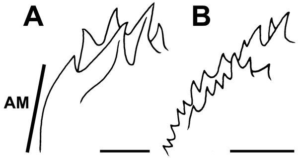 Southern Gurnard Perch, Maxillicosta meridianus