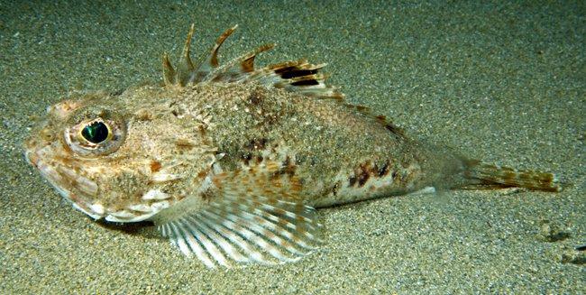 Southern Gurnard Perch, <i>Maxillicosta meridianus </i>