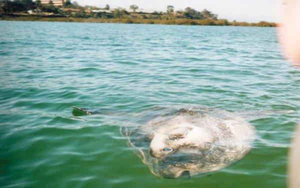 Southern Ocean Sunfish,  Mola alexandrini