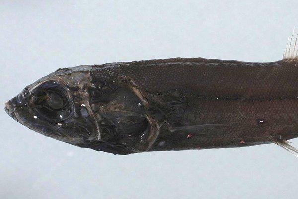Spangled Tubeshoulder, <i>Persparsia kopua</i>