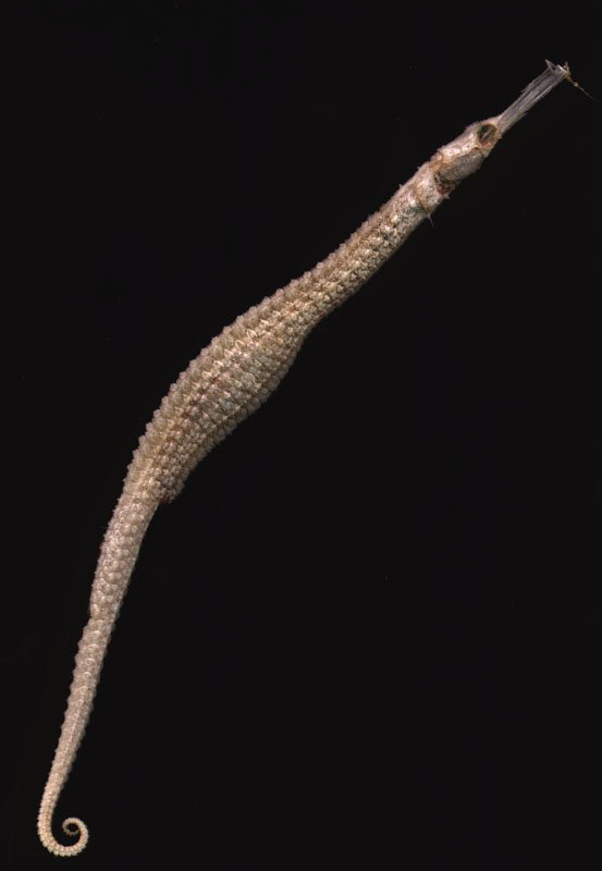 Spiny Pipehorse, Solegnathus spinosissimus