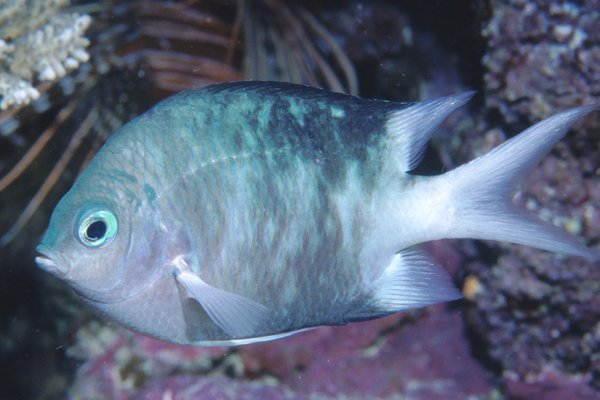 Spiny Puller, <i>Acanthochromis polyacanthus</i>
