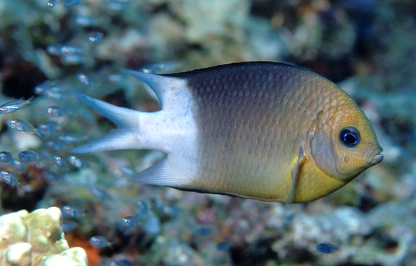 Spiny Puller, Acanthochromis polyacanthus