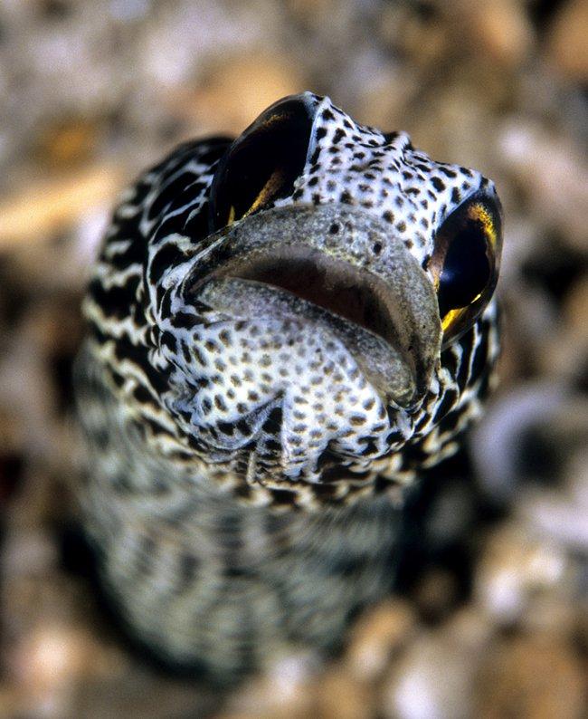 Spotted Garden Eel, Heteroconger hassi (Klausewitz \u0026 Eibl