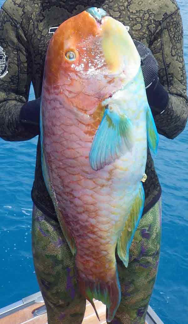 Steephead Parrotfish, Chlorurus microrhinos