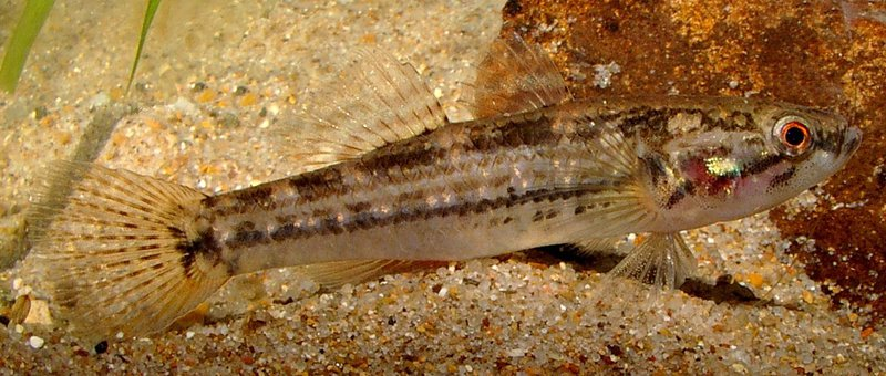 Striped Gudgeon, Gobiomorphus australis