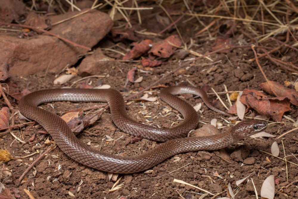 The Ord River Snake (Suta ordensis)