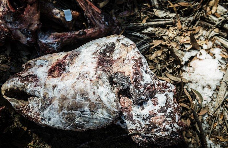 Dead Tapir Head