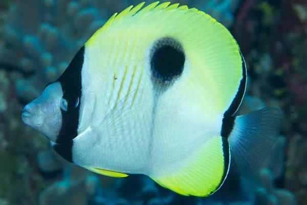 Teardrop Butterflyfish, Chaetodon unimaculatus