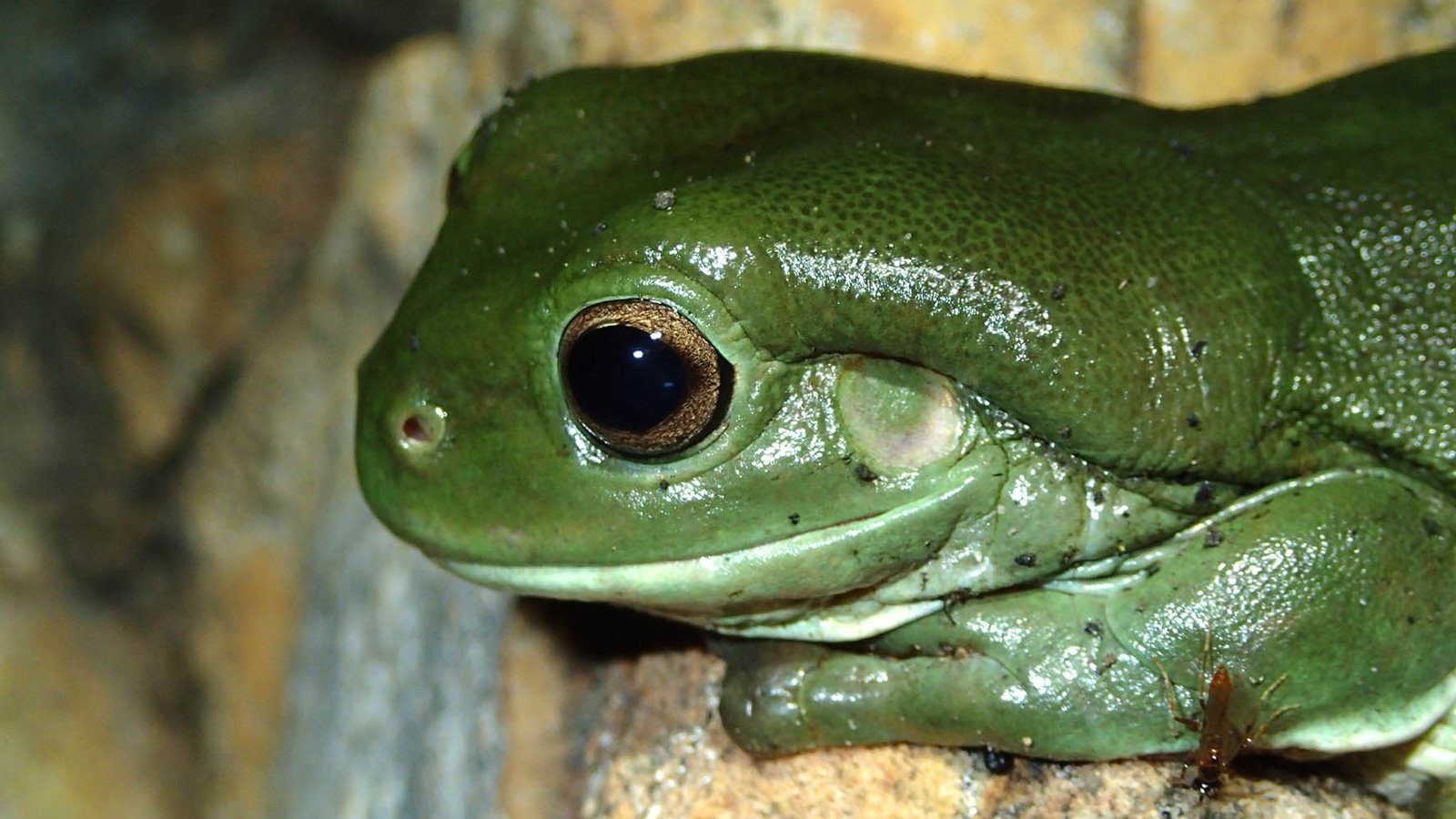 The Aussie Green Tree Frog's disappearing act from Sydney