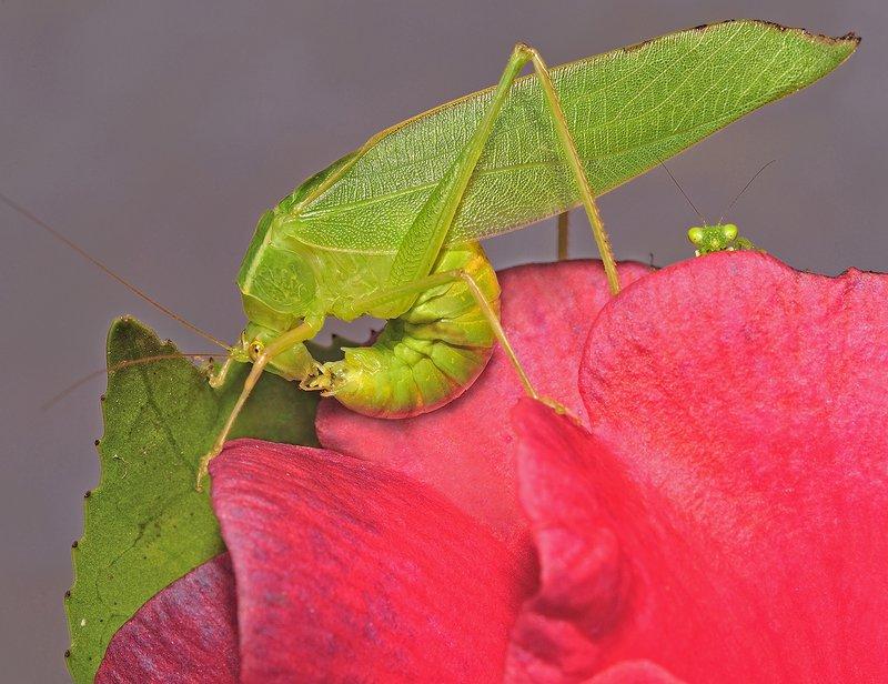 Common Garden Katydid (Caedicia simplex)