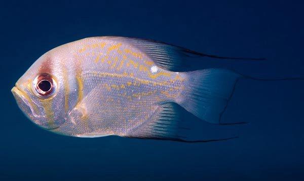 Threadfin Pearl Perch, <i>Glaucoma magnificum</i>