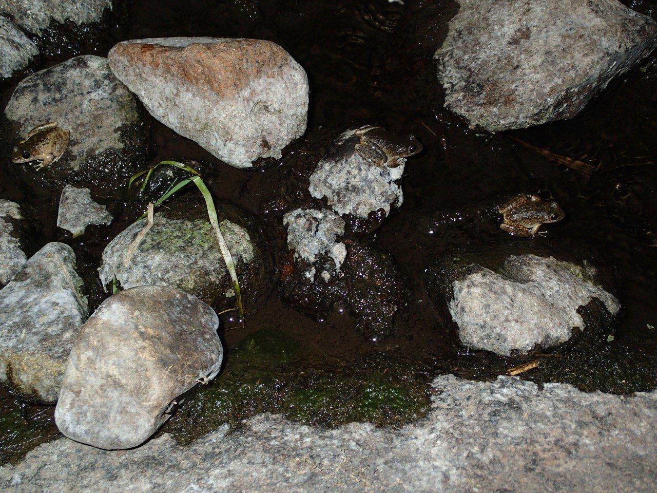Three Booroolong Frog (Litoria booroolongensis)