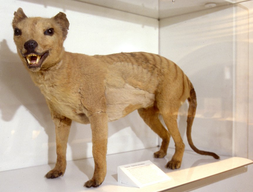The Thylacine The Australian Museum