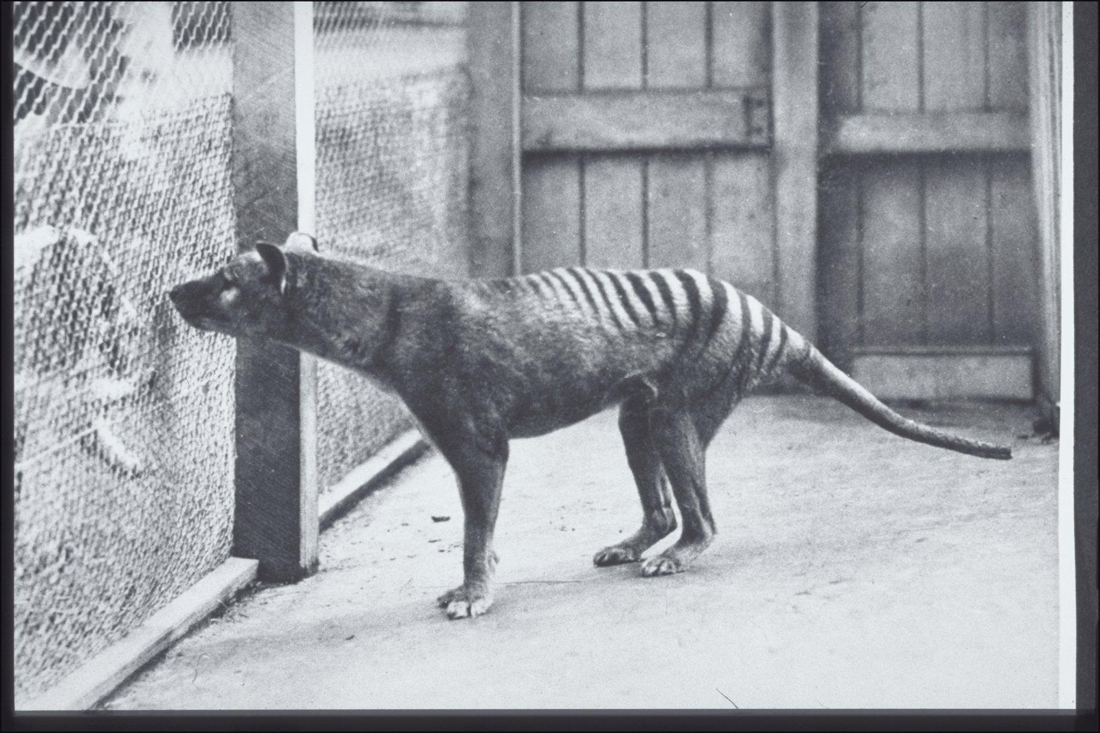 The Thylacine - The Australian Museum