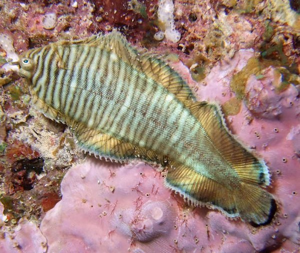 Tiger Sole, Soleichthys heterorhinos