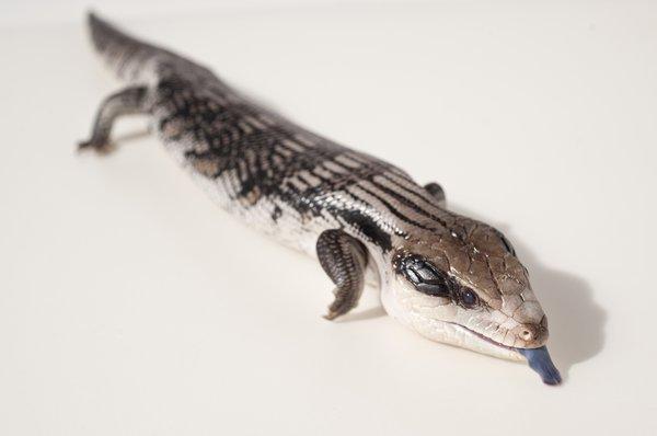 Eastern Blue-tongue Lizard, Tiliqua scincoides scincoides