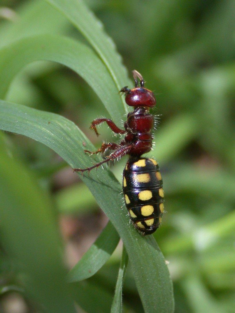 Tiphiidae hymenoptera