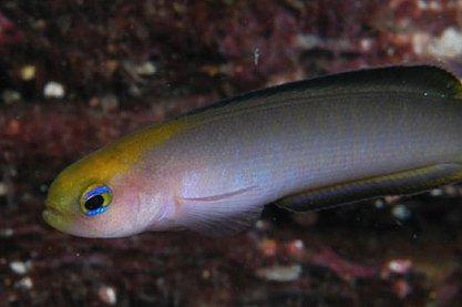 Trachinops noarlungae