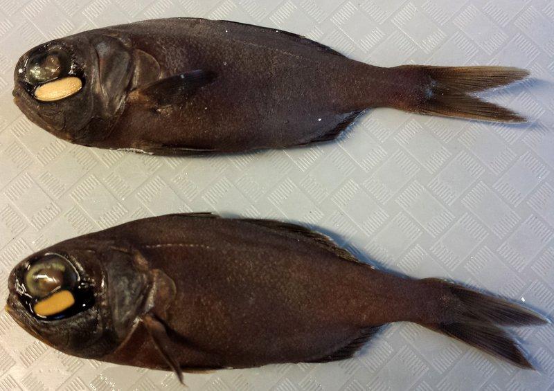 Twofin Flashlightfish, Anomalops katoptron I.19291-001