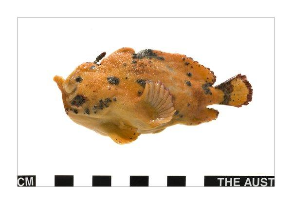 Undescribed Anglerfish, Antennariidae
