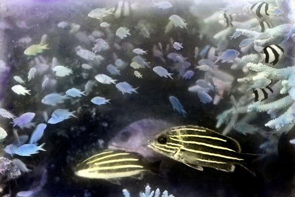 Frank Hurley underwater image