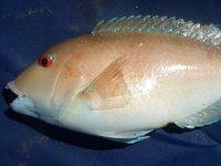 Venus Tuskfish, <i>Choerodon venustus</i>