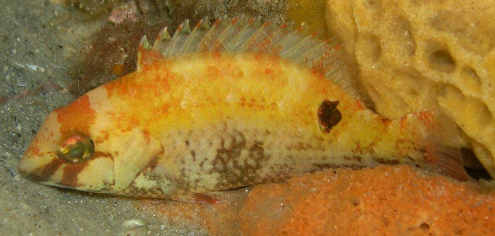 Venus Tuskfish, Choerodon venustus