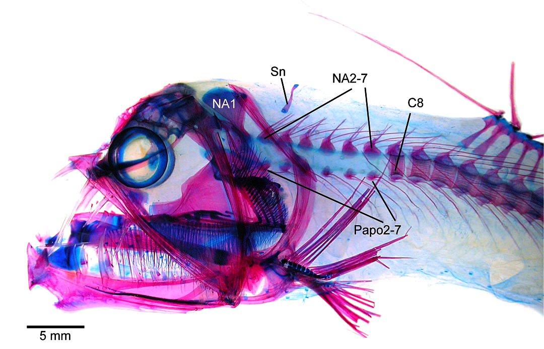 Viperfish, Chauliodus sp
