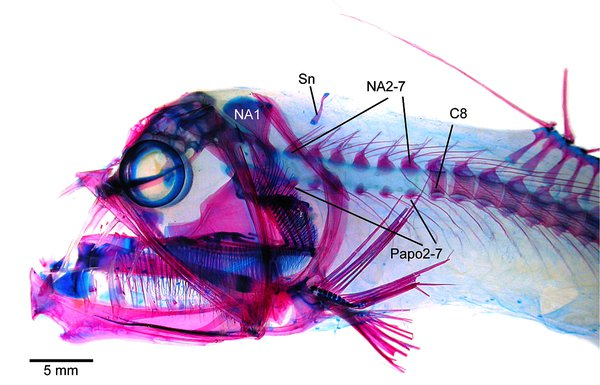 Viperfish, Chauliodus sp