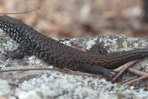 The Cunningham's Skink