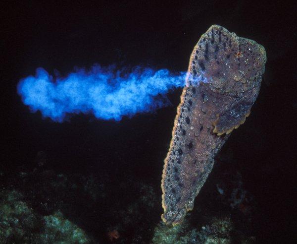 Warty Prowfish, Aetapcus maculatus