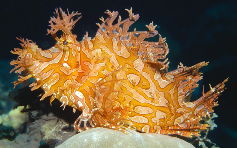 Weedy Scorpionfish, Rhinopias aphanes