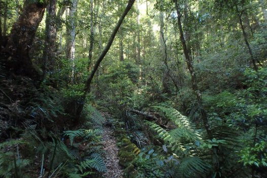 Cool temperate rainforest, Plateau Beech, Werrikimbe National Park