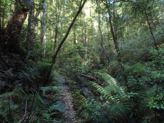 Cool temperate rainforest, Plateau Beech, Werrikimbe National Park