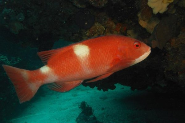 Western Foxfish (Bodianus frenchii) observed along the south coast of Western Australia