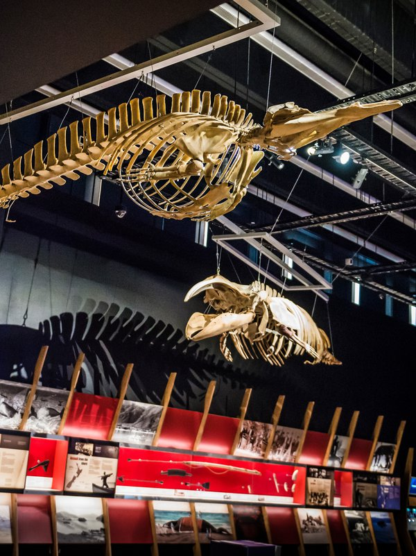 Whale skeletons above whaling timeline showcase