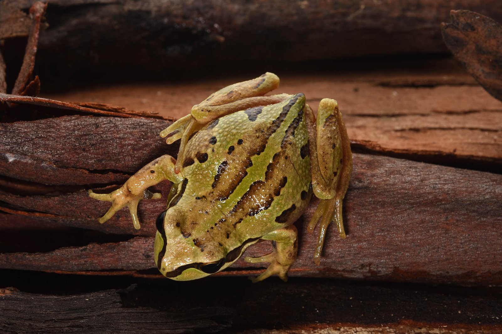 Whistling Tree Frog (Litoria verreauxii)