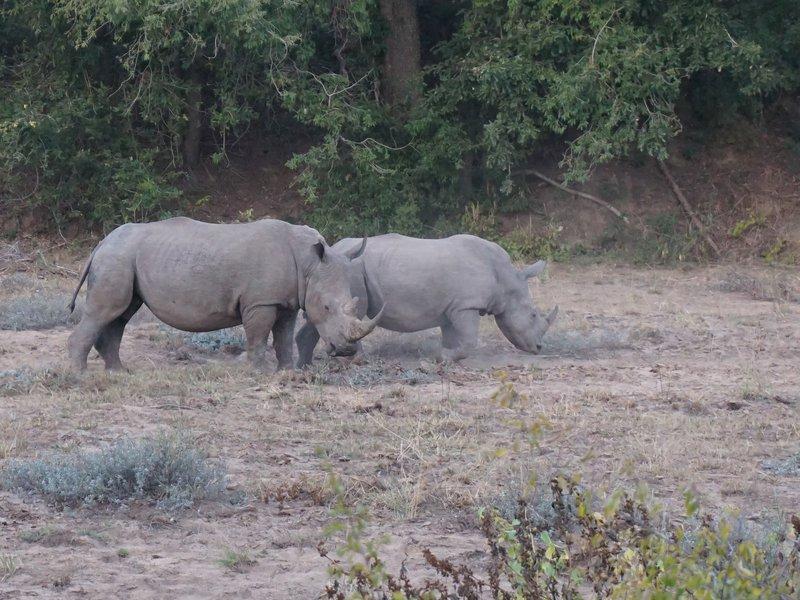 White Rhino's grazing.