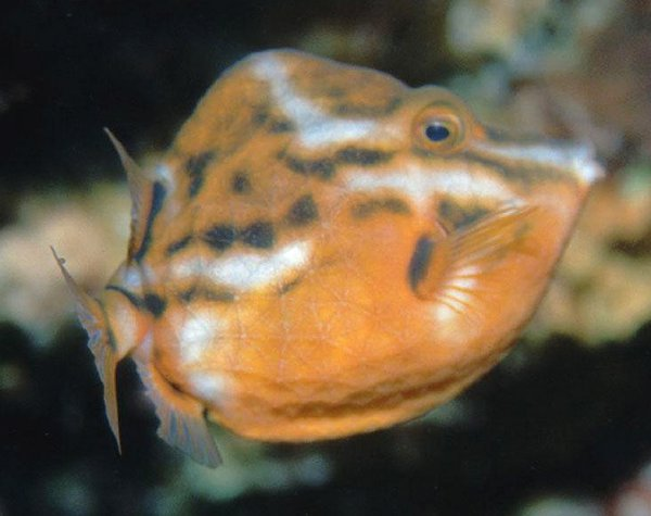 Whitebarred Boxfish, Anoplocapros lenticularis