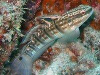 Whitebarred Goby, Amblygobius phalaena