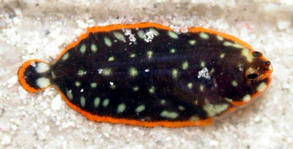 Whiteblotched Sole, Soleichthys maculosus