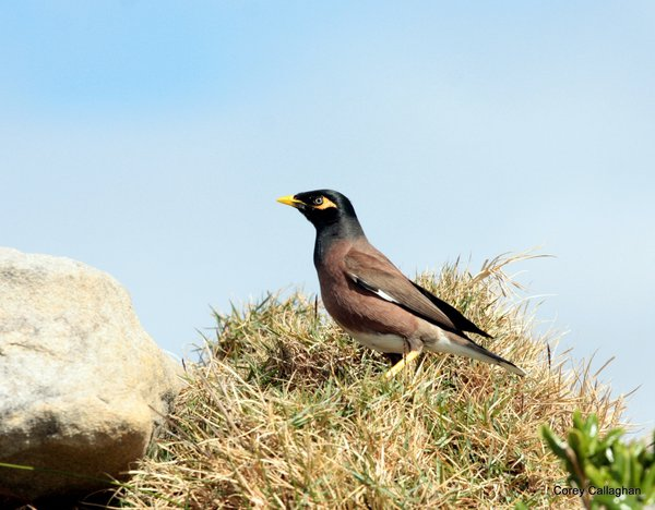 Why do birds fly south? Common (Indian) Myna Blog