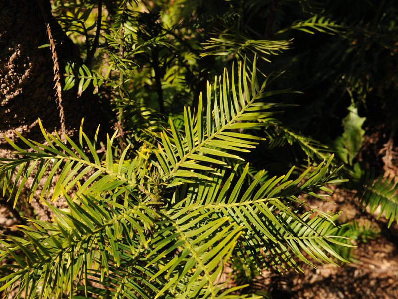 Wollemi pine leave