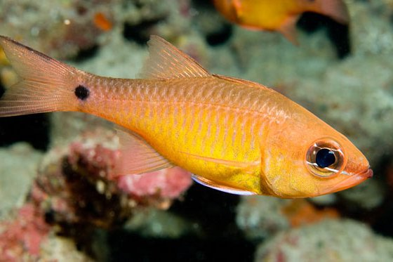 Yellow Cardinalfish, Apogon flavus