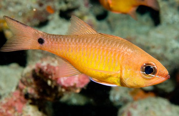 Yellow Cardinalfish, Apogon flavus