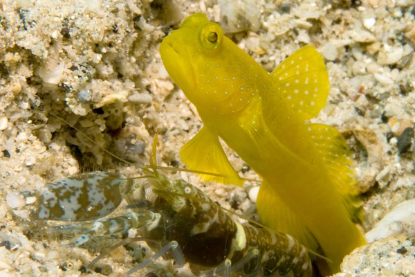 Yellow Shrimpgoby, Cryptocentrus cinctus