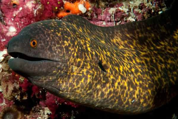 Yellowmargin Moray, Gymnothorax flavimarginatus