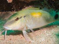 Yellowspot Goatfish, Parupeneus indicus